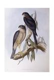 Brown Dipper (Cinclus Pallasii) Giclee Print by John Gould