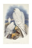 Greenland Falcon, 1862-1873 Giclee Print by John Gould