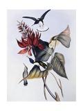 White-Necked Jacobin (Florisuga Mellivora) Giclee Print by John Gould