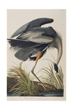 Illustration from 'Birds of America', 1827-38 (Hand-Coloured and Aquatint) Giclee Print by John James Audubon