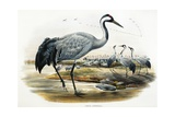 Common Crane (Grus Cinerea) Giclee Print by John Gould