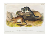 Rocky Mountain Neotoma, Plate 29 from 'Quadrupeds of North America', Engraved by R. Trembly Giclee Print by John Woodhouse Audubon