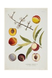 Amygdalus Persica, from Icones Plantarum Medicinalium, 1788 Giclee Print by Joseph Jacob Plenck