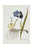 Iris Germanica, from Icones Plantarum Medicinalium, 1788-1812 Giclee Print by Joseph Jacob Plenck