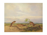Townsend's Meadow Mouse, Meadow Vale and Swamp Rice Rat (Or Rice Meadow House) Giclee Print by John Woodhouse Audubon