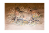 Caracal, 1851-69 Giclee Print by Joseph Wolf