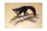 Aye-Aye, 1861 Giclee Print by Joseph Wolf