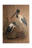 Black-Necked Stork (Xenorhynchus Australis), 1856-67 Giclee Print by Joseph Wolf