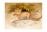 Eyra, 1851 Giclee Print by Joseph Wolf