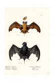 Egyptian Free-Tailed Bat, 1824 Giclee Print by Karl Joseph Brodtmann
