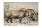 Hairy Eared Rhinoceros Giclee Print by Joseph Wolf