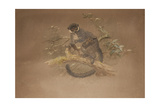 Black-Footed Lemur (Lemur Nigifrons) Giclee Print by Joseph Wolf