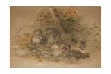 Clouded Leopard (Fleis Macrocelis) Giclee Print by Joseph Wolf