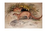 Eyra (Felis Eyra), 1851 Giclee Print by Joseph Wolf