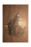 Saker Falcon (Falco Sacer), 1856-67 Giclee Print by Joseph Wolf