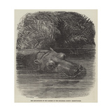 The Hippopotamus in the Gardens of the Zoological Society, Regent'S-Park Giclee Print by Joseph Wolf