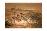American Rheas (Rhea Americana), C.1851-76 Giclee Print by Joseph Wolf