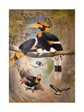 Concave Casque Hornbill, 1861 Reproduction procédé giclée par Joseph Wolf