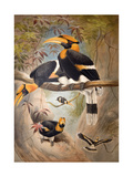 Concave Casque Hornbill, 1861 Giclee Print by Joseph Wolf