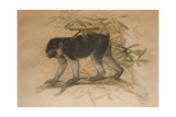 Ashy-Black Macaque (Macacus Ocreatus), 1869 Giclee Print by Joseph Wolf