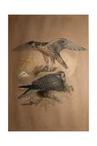 Lanner Falcon (Falco Lanarius), 1856 Giclee Print by Joseph Wolf