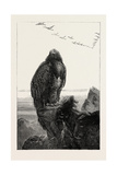 The Eagle's Throne, Exhibition of the British Institution, UK, 1851 Giclee Print by Joseph Wolf