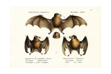 Long-Nosed Bat, 1824 Giclee Print by Karl Joseph Brodtmann