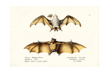 Northern Ghost Bat, 1824 Giclee Print by Karl Joseph Brodtmann