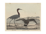 Blue Crane Giclee Print by Mannevillette Elihu Dearing Brown