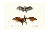 Flying Foxes, 1824 Giclee Print by Karl Joseph Brodtmann