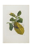 Citrus Fruit and Beetle, 1705-1771 Giclee Print by Maria Sibylla Graff Merian