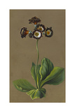 Hybrid Auricula, 1830 Giclee Print by Louise D'Orleans