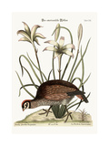 The American Partridge, 1749-73 Giclee Print by Mark Catesby