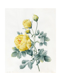 Yellow Roses, 1827 Giclee Print by Louise D'Orleans