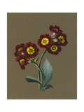 Red Primula Auricula, 1830 (W/C and Bodycolour on Paper with a Prepared Ground) Giclee Print by Louise D'Orleans