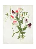 Lathyrus Odoratus Giclee Print by Matilda Conyers