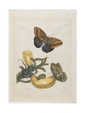 Bananas and Blue Lizard, 1705-1771 Giclee Print by Maria Sibylla Graff Merian