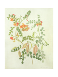 Colutea Arbordscens Media Giclee Print by Matilda Conyers