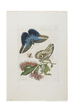 Blue Butterflies and Red Larva, Blue Spines, C. 1705-1717 Giclee Print by Maria Sibylla Graff Merian