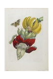 Inflorescence of Banana, 1705 Giclee Print by Maria Sibylla Graff Merian