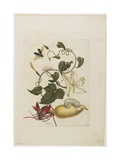 Red Beetle, White Morning Glory, 1705-1771 Giclee Print by Maria Sibylla Graff Merian