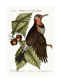 The Gold-Winged Woodpecker, 1749-73 Impression giclée par Mark Catesby
