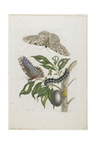 Moths, Caterpillars, and Foliage, 1705-1771 Giclee Print by Maria Sibylla Graff Merian