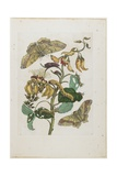 Caterpillars, Butterflies and Flower, 1705-1771 Giclee Print by Maria Sibylla Graff Merian