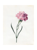 Carnation, 1826 Giclee Print by Louise D'Orleans