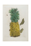 Mature Pineapple with Butterflies, 1705-1771 Giclee Print by Maria Sibylla Graff Merian