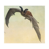 Pallid Bat Giclee Print by Louis Agassiz Fuertes