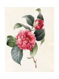 Camellia, 1827 Giclee Print by Louise D'Orleans
