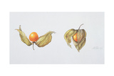 Cape Gooseberries (Physalis Peruviana) 1996 Giclee Print by Margaret Ann Eden