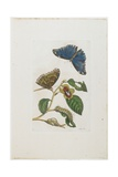 Blue Butterflies and Foliage, 1705-1771 Giclee Print by Maria Sibylla Graff Merian